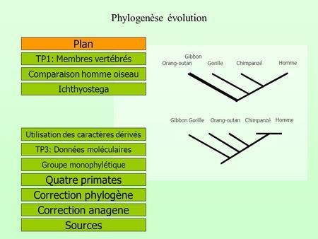 Phylogenèse évolution Correction phylogène Quatre primates Correction anagene Plan Chimpanzé Gorille Orang-outan Gibbon Homme Utilisation des caractères.