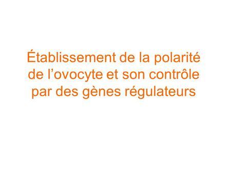 Établissement de la polarité de lovocyte et son contrôle par des gènes régulateurs.