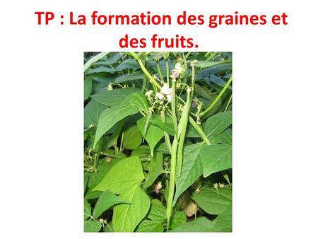 TP : La formation des graines et des fruits.. Cycle de vie dune plante annuelle : le haricot.